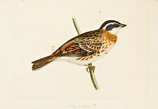 "Bree's ""Birds of Europe"" - ""RUSTIC BUNTING"" - Hand Colored Lithograph - 1875"