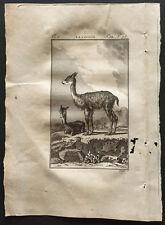 1799 - Buffon - La vigogne - Gravure zoologie