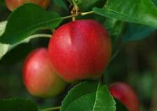 Apple Summer Trees
