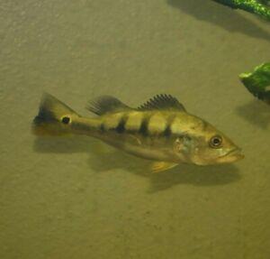 "Live Temensis Peacock Bass (Rare 5"" Freshwater Aquarium Fish) *PLS READ DESCR*"