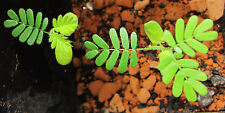 Mimosa Hostilis / Jurema 10 seeds (Great Quality / Homegrown)