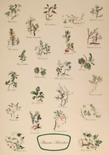 Early Vintage Botanical Study Types of Berries Latin Name Color Lithograph #S356