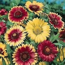 30+ Gaillardia Arizona Mix Flower Seeds / Rarely Offered Perennial