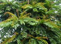 Bilimbi/ Cucumber tree/ Gurkenbaum (Averrhoa bilimbi) fresh air dried tea leaves