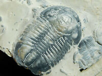 A Big! Nice and 100% Natural Asaphiscus Trilobite Fossil From Utah 186gr *B