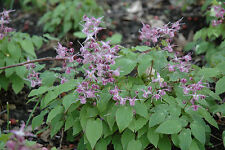 Epimedium grandiflorum Lilafee perennial plant ground cover any aspect 9cm pot
