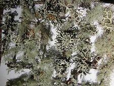 Live Lichen, Specimen, Bonsai, Reptiles, Plants, Models,Terrarium, Arts & Crafts