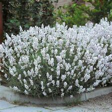 White Lavender Angustifolia 'Edelweiss 6 Large PLUG PLANTS