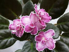 African Violet Dolores Chantilly Lace