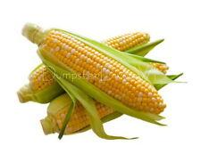 """DELECTABLE Bicolor Hybrid Sweet CORN 30+ seeds  9"""" long Ears Organic NON-GMO"""