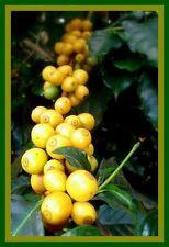 *UNCLE CHAN* 10 SEED YELLOW COFFEE TREE SEED 100% ARABICA BEAN DOI-TUNG