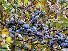 PRUNUS SPINOSA (Sloe), Blackthorn Berries , Shrub , Endrinas,Pacharan 15 seeds