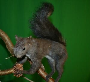 Taxidermy of birds and animals stuffed gray squirrel 02 Handmade September 2021