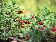 SeeLIVE plant Vaccinium macrocarpon cold hardy broadleaf evergreen (-39.9C (-40F