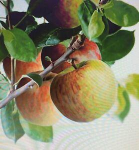 APPLE TREES - BRAMLEY