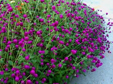 Beautiful Purple Gomphrena! 25 Seeds! See our store for over 700 kinds of seeds!