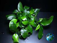 Anubias Eye x6 # Live aquarium plant fish tank WS