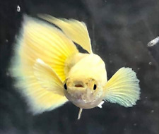 QUALITY GUPPY  FULL GOLD GRADE A (1MALE+1FEMALE)