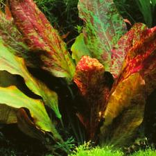 -Buy 2 Get 1 Free- Red Flame Sword Planted Easy Live Aquarium Plant Amazon Sword
