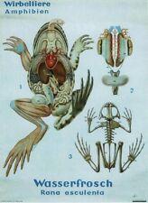 Zoology School Poster Art Jung-Koch-Quentell lips anatomie squelette grenouille