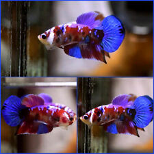 New listing Live Betta Fish Fancy Super Red Galaxy Koi Halfmoon Plakat Hmpk Male #C14
