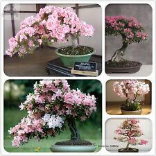 Semillas oriental cerezo Sakura Bonsái, Pack profesional, 6 semillas mezcla