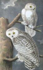Antique Reproduction Art Print Snowy Owl John James Audubon Bird Pair Mate White