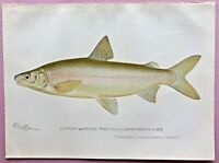 1897 RARE Antique DENTON FISH Print COMMON WHITEFISH MALE from CANANDAIGUA LAKE