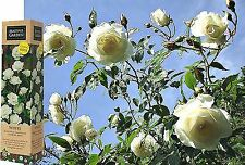 SPRING GROWING WHITE FRAGRANT CLIMBING ROSE FLOWER BARE ROOTED PLANT SHRUB BOXED