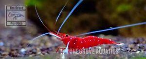 10+2 Cardinal Sulawesi Shrimp (White Spot) Ornamental Dwarf Shrimp