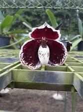 Paphiopedilum BLACK Leucochilum orchid species plant BLOOM SIZE Thailand CITES