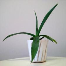 Agave Kakteen- & Sukkulenten-Pflanzen mit mittlerem Wasserbedarf