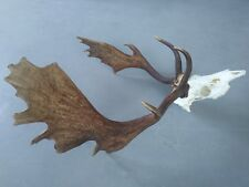 Great Fallow Deer Antlers Skull taxidermy head hunting