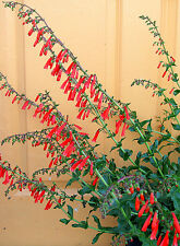 Penstemon eatonii (Firecracker Penstemon) x 50 seeds