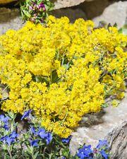 Blaukissen Violett 13190 Sämereien Blumen Samen Saatgut Steingarten