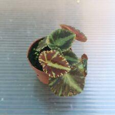 Begonia cleopatrae - Rare plant - Terrarium plant