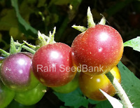 Blue Gold Berries Tomato - The Most Stunning & Exceptionally Colourful Tomato!!!