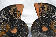 "RARE 1 in 100 BLACK PAIR Ammonite Crystal LARGE 122mm Dinosaur FOSSIL 4.7"" n2624"