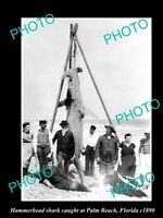 OLD 8x6 HISTORICAL GAME FISHING PHOTO OF HAMMERHEAD SHARK CATCH c1890 FLORIDA