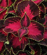 15 Pelleted Seeds Coleus Premium Sun Chocolate Covered Cherry Coleus Seeds