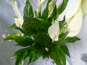 Zimmerpflanzen-Mix , 3er Set, 1x Einblatt 1x Grünlilie , 1x Marante