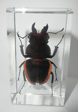 Golden Stag Beetle Odontolabis cuvera Male Specimen in 73x40x20 mm Paperweight