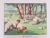 #12 Sheep & Lamb c1940 Vintage Educational School Poster/Print MacMillans Art