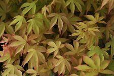 Japanese Maple Kokyo Very Rare!