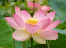 Nelumbo nucifera - The Sacred Lotus - 5 Large Fresh Seeds