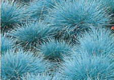 750 graines-Herbe ornementale Blue Fescue-Festuca glauca Blue Select