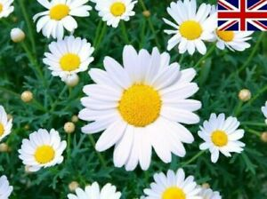 200 Seeds ORGANIC Ox-Eye Daisy White Yellow English British Meadow Wild Flower