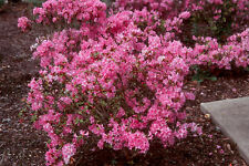 Rhododendron Hardijzer's Beaut - Two Gallon Plant - Pink Blooms - Hardy to -5