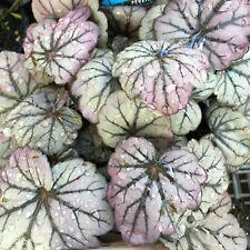 SUGAR PLUM Heuchera decorative colourful ruffled foliage plant in 140mm pot
