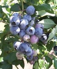 "Blueberry ""Snow Chaser"" High Bush live plant vaccinium"